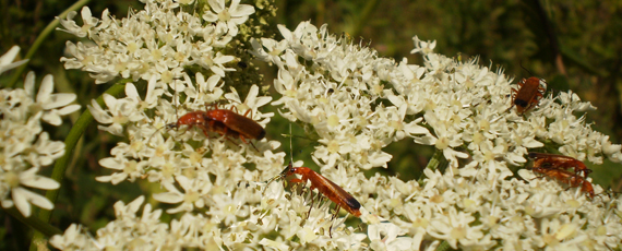 Red Cardinal beetles<br />- successfully breeding<br />in the copse