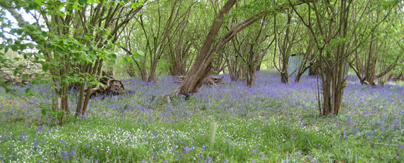 Bluebells in spring